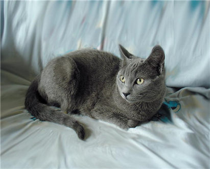 俄罗斯蓝猫应该怎么饲养?饲养蓝猫的方法要点介绍!